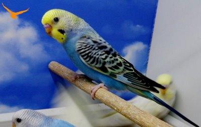 Muhabbet Kuşlarında Neden Ishal Olur
